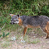 2019-06-23_670_Channel Islands_Santa Cruz Is_Scorpion_Island Fox.JPG