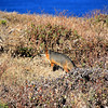 2015-12-29_8547_Santa Cruz Island fox.JPG
