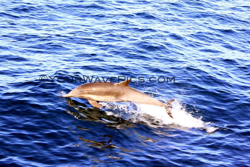 2015-12-29_8523_Channel Islands Dolphin.JPG