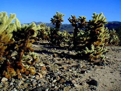 Teddybear Cholla at Joshua Tree National Park near Palm Springs, Southern California