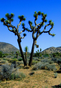 "Joshua Tree National Park's nearly 800,000 acres were set aside to protect the unique assembly of natural resources brought together by the junction of three of California's ecosystems. The Colorado Desert, a western extension of the vast Sonoran Desert, occupies the southern and eastern parts of the park. It is characterized by stands of spike-like ocotillo plants and ""jumping"" cholla cactus. The southern boundary of the Mojave Desert reaches across the northern part of the park. It is the habitat of the park's namesake: the Joshua tree. Extensive stands of this peculiar looking plant are found in the western half of the park. Joshua Tree's third ecosystem is located in the western most part of the park above 4,000 feet. The Little San Bernardino Mountains provide habitat for a community of California juniper and pinon pine.    Joshua Tree National Park near Palm Springs, Southern California"