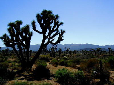 Joshua trees,  (Yucca brevifolia), giant member of the lily family   Joshua Tree National Park near Palm Springs, Southern California