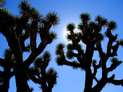 Joshua trees,  (Yucca brevifolia), the parks namesake,are giant members of the lily family.   Joshua Tree National Park near Palm Springs, Southern California