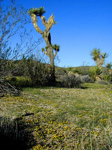 Joshua trees,  (Yucca brevifolia), the parks namesake, are giant members of the lily family.   Joshua Tree National Park near Palm Springs, Southern California