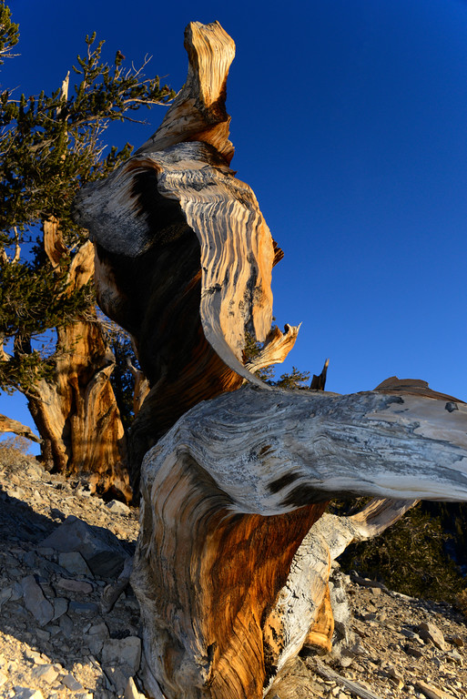 California Travel Photography - Big Pine - Ancient Bristlecone Pine Forest