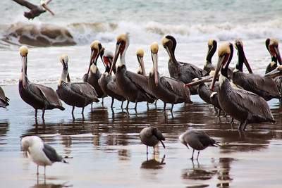Brown Pelicans in breeding plume