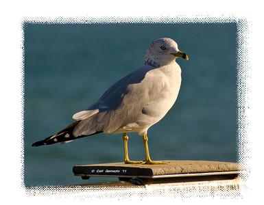 Seagull at the Huntington Beach, Pier Huntington Beach, CA December 21, 2011