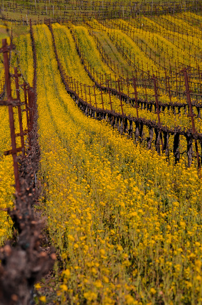 Mustard Bloom in the Vineyard
