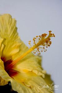 Avalon Hibiscus