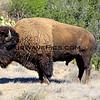 8631_Bison