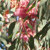 Close-up of Blooms on Tall Tree - Centennial Heritage Museum Garden - Santa Ana, CA  2-16-07