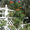 Trumpet Vine - Centennial Heritage Museum Garden - Santa Ana, CA  2-16-07