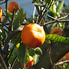 Close-up of Tangerine - Centennial Heritage Museum Garden - Santa Ana, CA  2-16-07