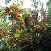 Tangerine Tree - Centennial Heritage Museum Garden - Santa Ana, CA  2-16-07