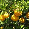 Close-up of Oranges - So Yummy - Centennial Heritage Museum Garden - Santa Ana, CA  2-16-07