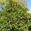 Orange Trees - Centennial Heritage Museum Garden - Santa Ana, CA  2-16-07