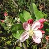 Assumed to Be a Crab Apple Blossom - Centennial Heritage Museum Garden - Santa Ana, CA  2-16-07