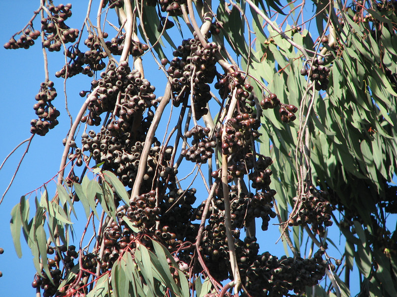 This is the Fruit of the Unidentified Tree - Is It Olives - Centennial Heritage Museum Garden - Santa Ana, CA  2-16-07
