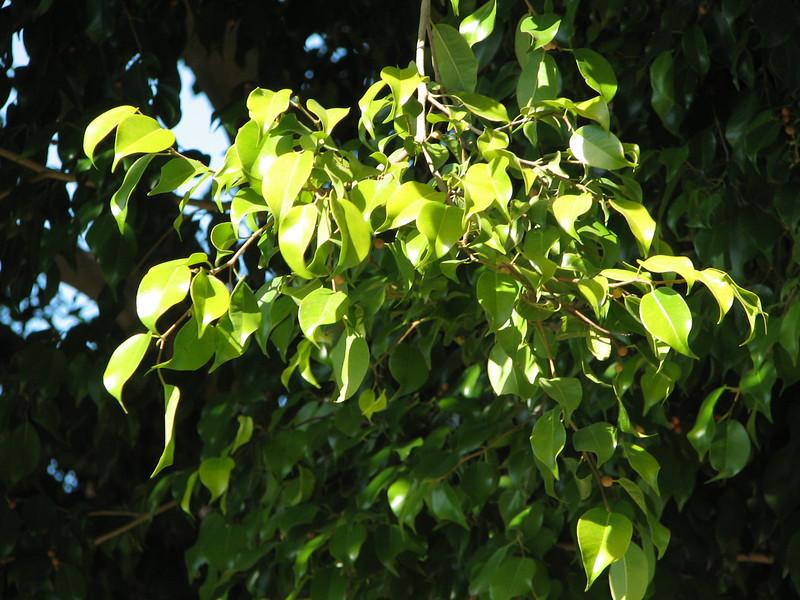 Close-up of Fica Leaf - Centennial Heritage Museum Garden - Santa Ana, CA  2-16-07