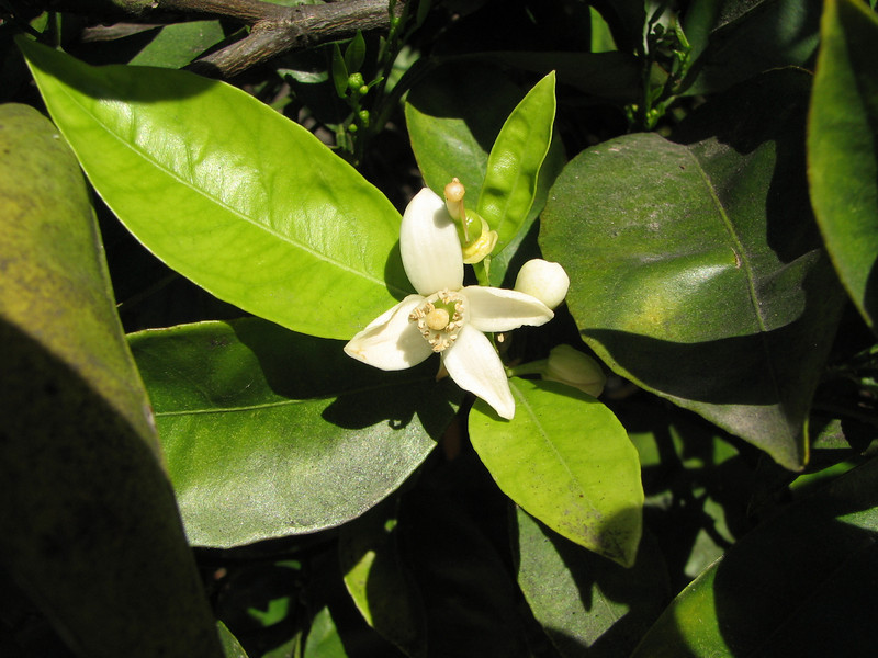Orange Blossom With Intoxicating Scent - Centennial Heritage Museum Garden - Santa Ana, CA  2-16-07