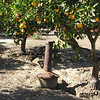 Citrus Groves With Heater Showing For Cold Spells - Centennial Heritage Museum - Santa Ana, CA  2-16-07