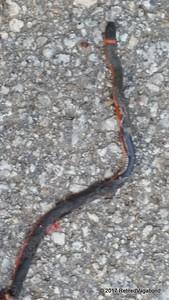Opps, Pacific Ringneck Snake