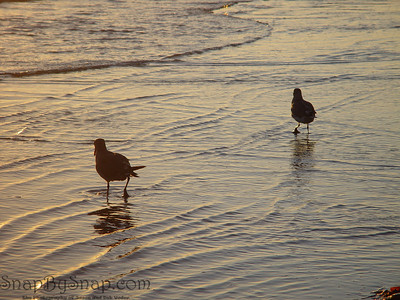 Seagulls, are reflected by the evening light on the beach of Coronado Island.