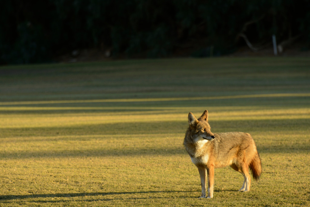 Coyote at sunset, Furnace Springs in Death Valley, California