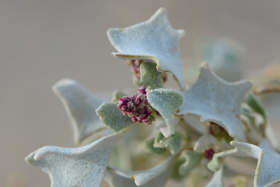 Holly Bush with salt crystals, Death Valley National Park, California