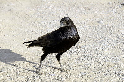 Raven - Mosaic Canyon - Death Valley National Park - California - USA
