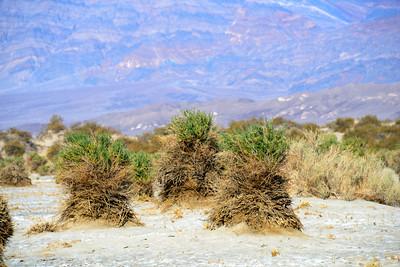 Devil's Cornfield, Death Valley, California