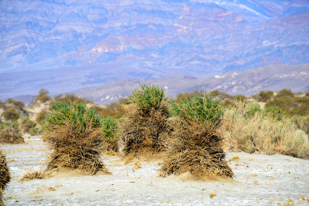 Devil's Cornfield, Death Valley, California
