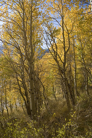 Aspens along the June Lake loop.