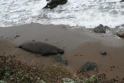 Elephant Seals - December 2006