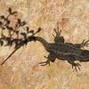 Lizard - Environmental Nature Center - Newport Beach, CA