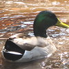 Male Mallard - Environmental Nature Center - Newport Beach, CA