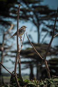 Savana Sparrow - Passerculus sandwicheniss