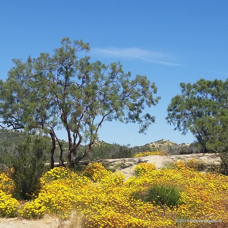 Spring in full bloom - Jojoba Hills