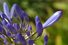 Lily of the Nile or African lily (Agapanthus) in Pacific Beach, CA