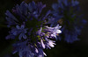 Lily of the Nile or African Lily detail (Agapanthus)