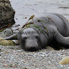 0431-9443_Elephant seals.JPG