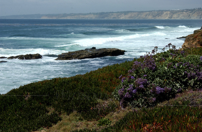 More sea lavender with surf