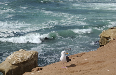 Gull on cliffs near Seal Rock