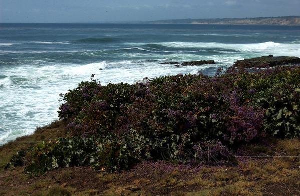 Sea Lavender (Limonium perezii) along the bluffs at Casa Beach