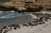 Seals sunning on the La Jolla beach