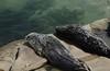 Chubby harbor seals