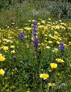 Lupine and yellow flowers