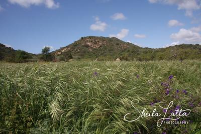 Wild Grass in the wind