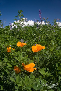 Poppies, lupine and sky