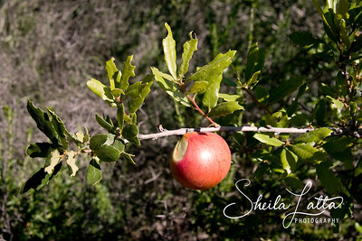A Gall attaches to a scrub oak. A bug gets under the bark, causing the bush to create an ulcer.  The bug is encased and lives off the bush.